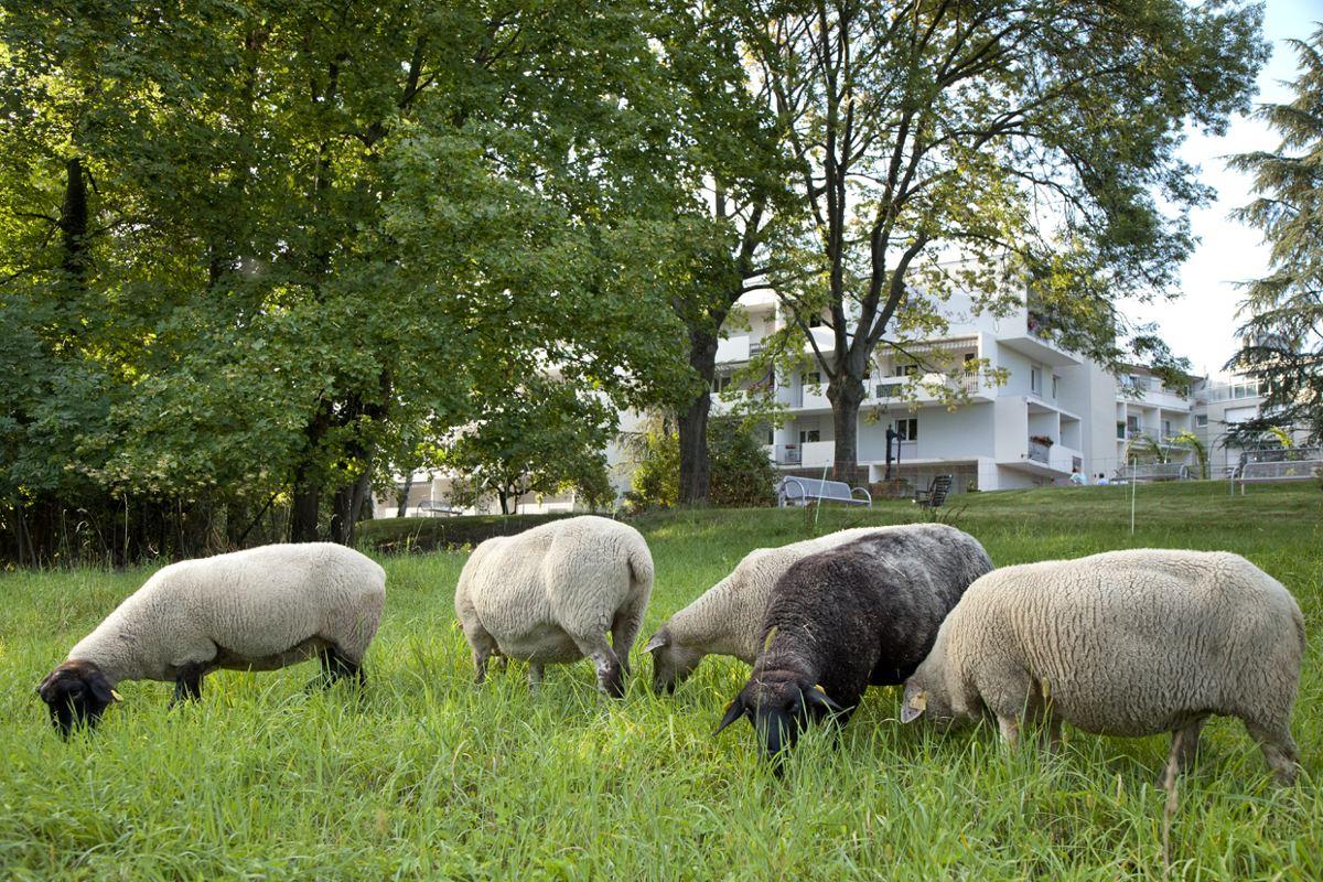 Moutons en EHPAD développement durable